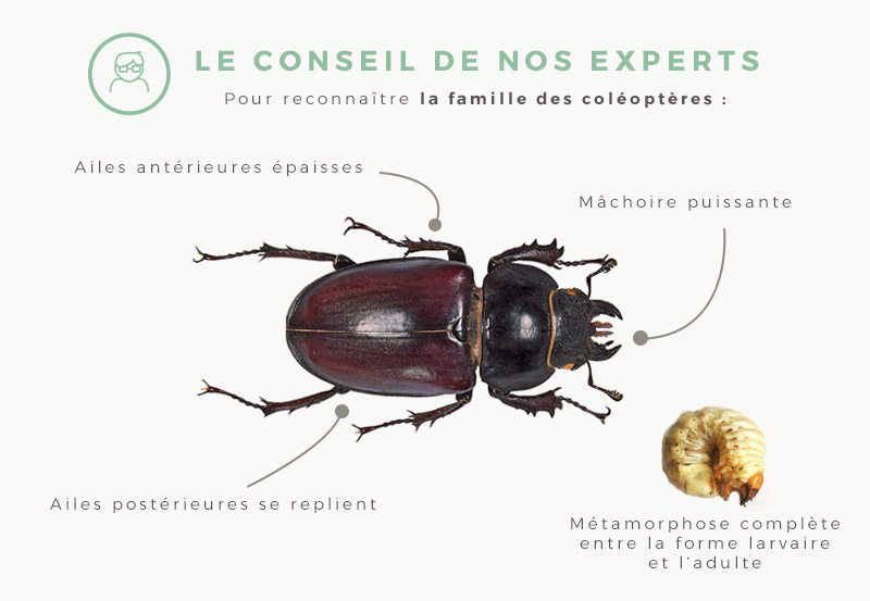 coleoptere-identification
