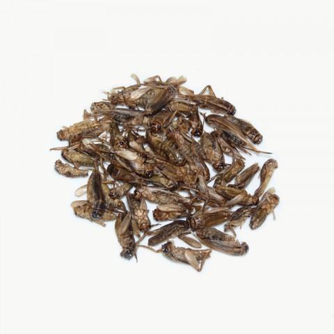 Cuisiner des insectes : les grillons natures
